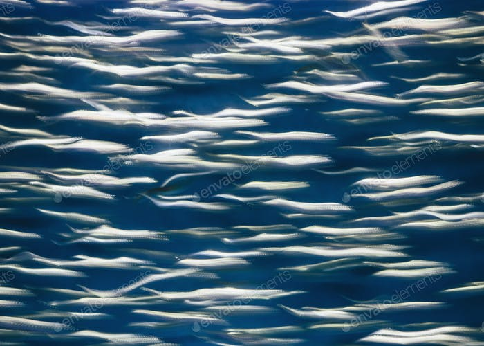 A school of Pacific Sardines fish, in a shoal, moving in the same direction