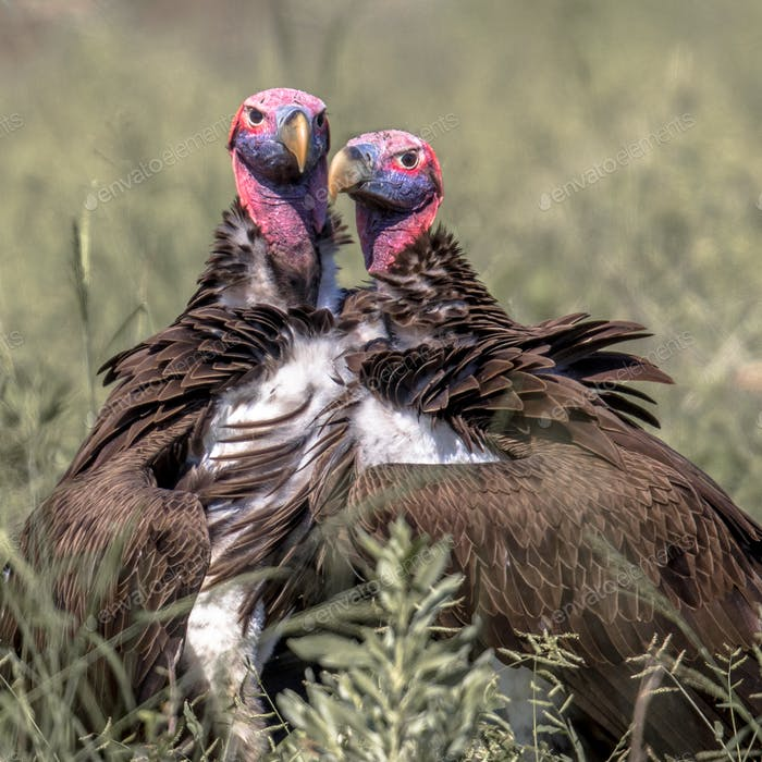 Lappet faced vultures display crop