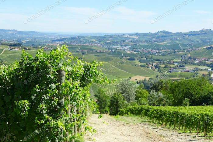 Green vineyards and vine plants in a sunny day in Italy