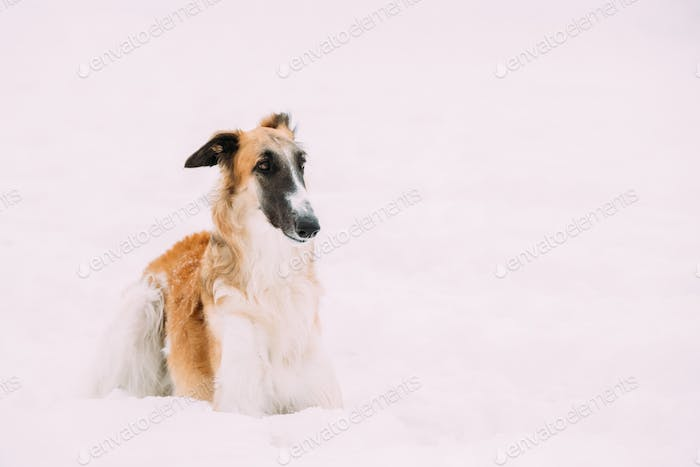 Russian Wolfhound, Russian Hunting Sighthound, Russkaya Psovaya