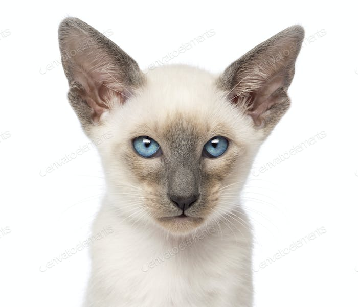 Close-up of an Oriental Shorthair kitten, 9 weeks old, against white background
