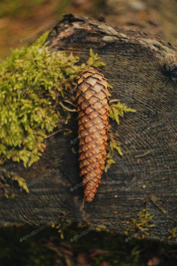 spruce cone on a tree stump