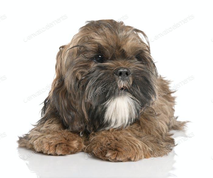Shih Tzu puppy (6 months old)