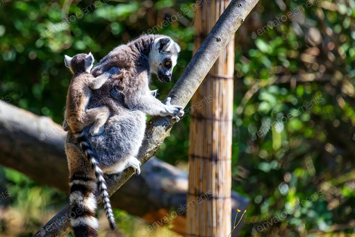 Ring-Tailed Lemur or Lemur catta mother with child