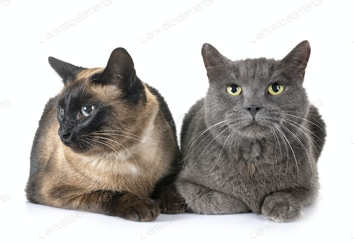 Chartreux cat and siamese cat