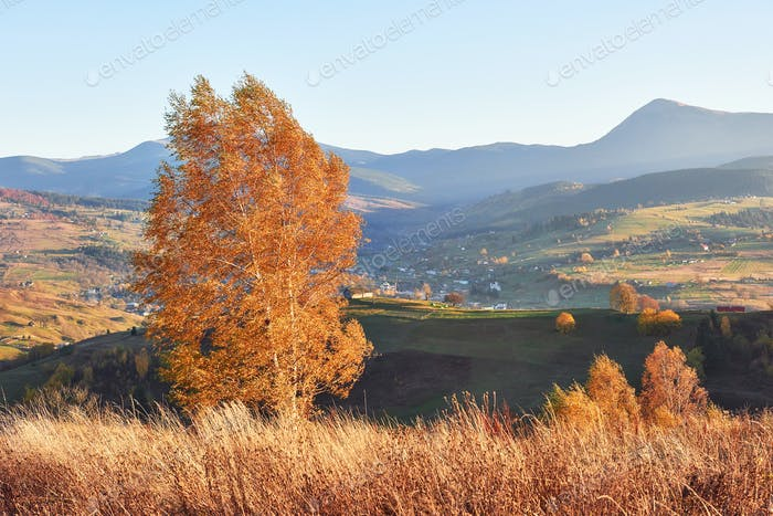 Shiny beech tree on a hill slope with sunny beams at mountain valley. Gorgeous morning scene. Red