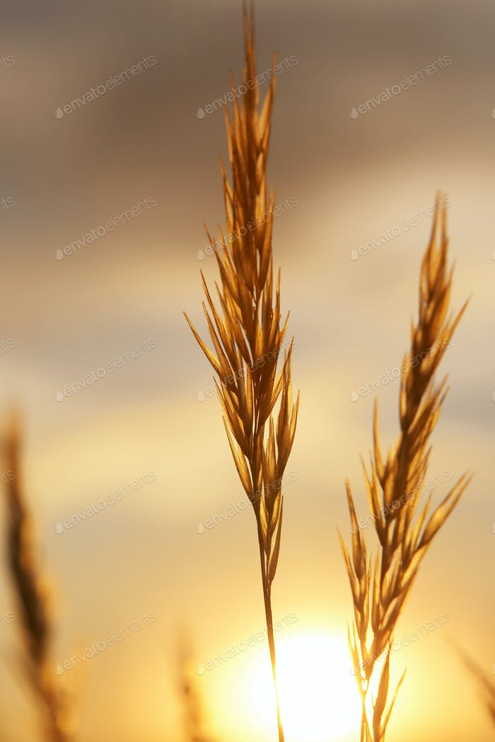 Sunset on wheat fields