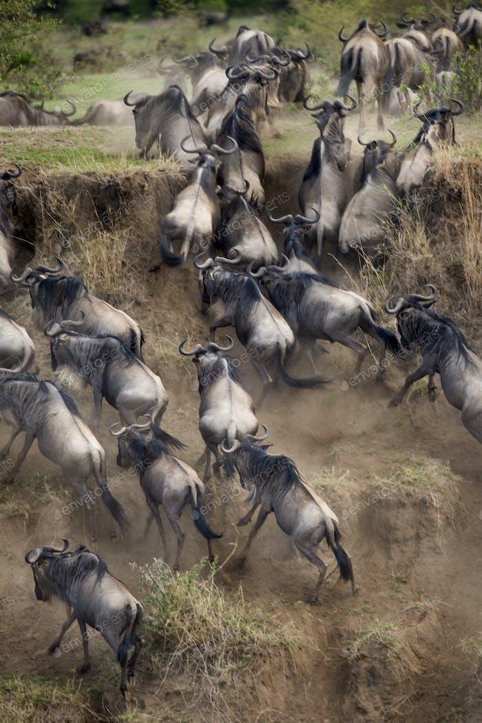 Wildebeest, Serengeti National Park, Serengeti, Tanzania, Africa