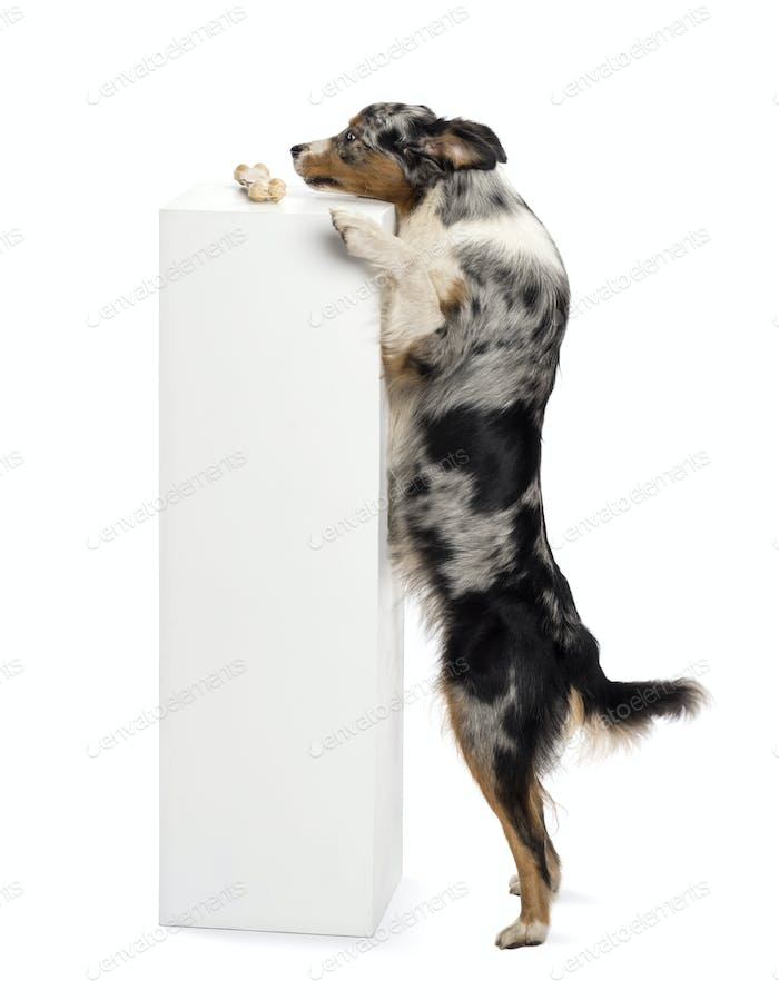 Australian Shepherd standing on hind legs and trying to reach a bone on the top