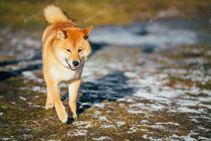 Red Shiba Inu Puppy Dog Staying Outdoor In Spring
