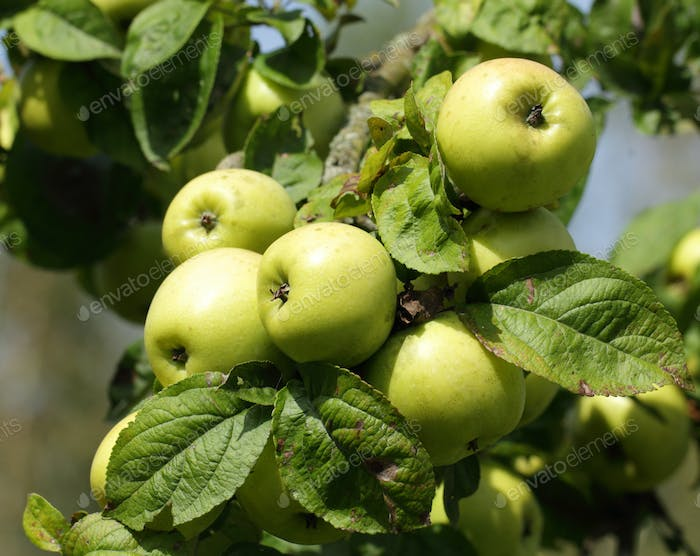 Apple tree branch with green apple fruits