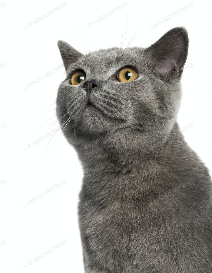 British Shorthair (6 months old)