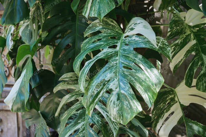 Монстера зеленые листья ветви во дворе, лес, Парк, Сад