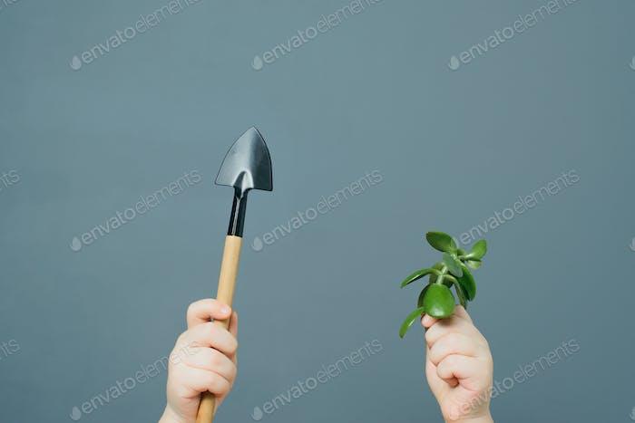 Child plants a crassula ovata plant