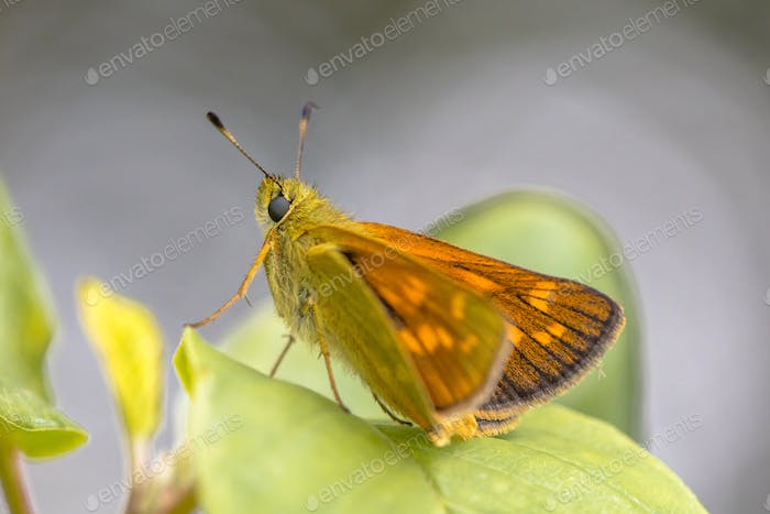 Large skipper resting on leaf of bush