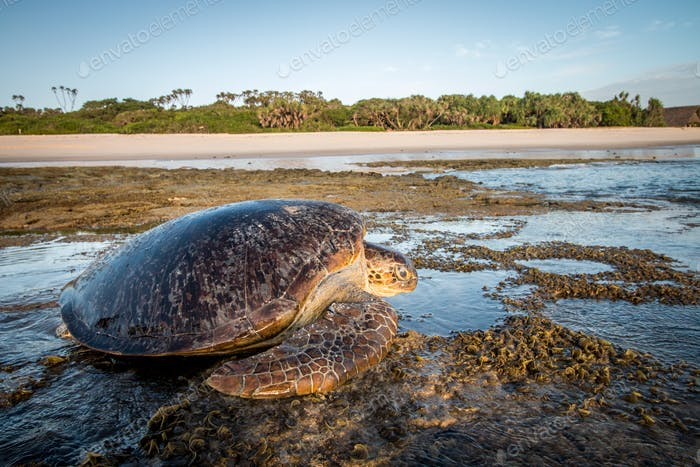 Green sea turtle on the sand.