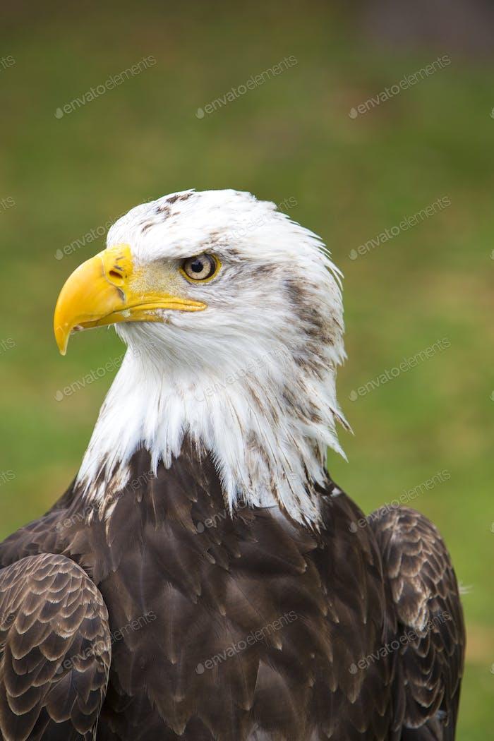 Closeup of an American Bald Eagle in Ecuador