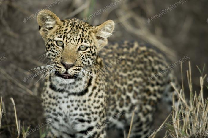 Young leopard in Serengeti, Tanzania, Africa