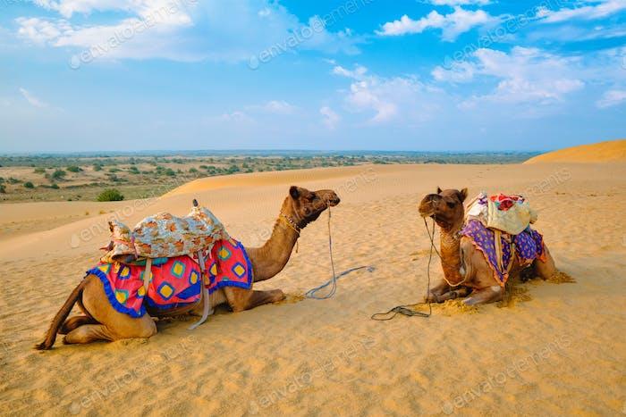 Indisches Kamel in Sanddünen der Thar-Wüste bei Sonnenuntergang. Jaisalmer, Rajasthan, Indien