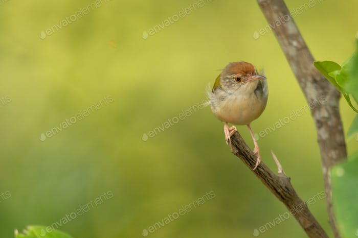 small bird living in the nature, common bird around the home