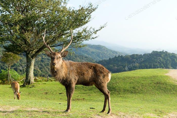 Wild stag deer