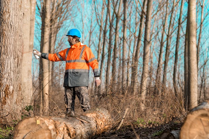 Forestry technician marking tree trunk for cutting in deforestation process