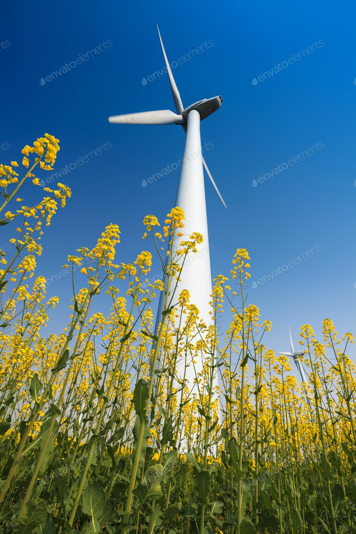 wind turbines in rapeseed field