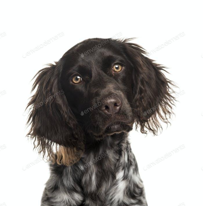 Close-iup of a Munsterlander dog, cut out