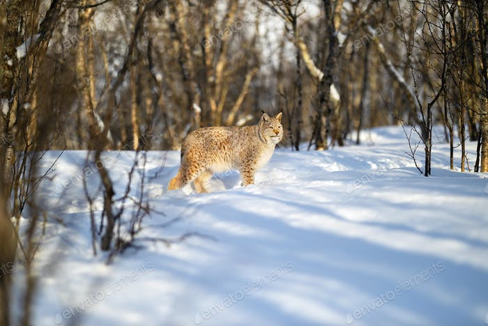 Alert Eurasian lynx looking away on snow near bare trees