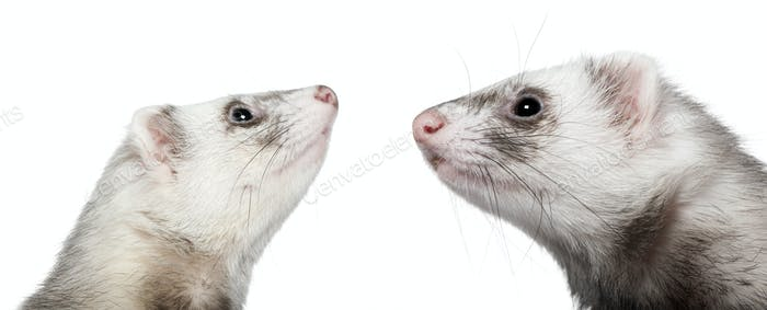 Two ferrets looking at each other, 1 year old, in front of white background