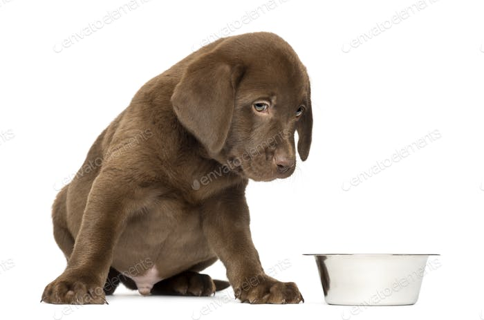 Labrador Retriever Puppy sitting with empty dog bowl, 2 months old, isolated on white