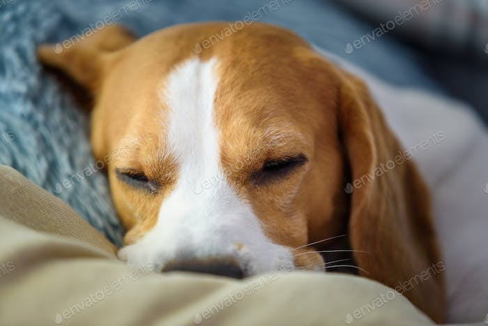 Beagle dog tired sleeps on a cozy sofa, on cushion