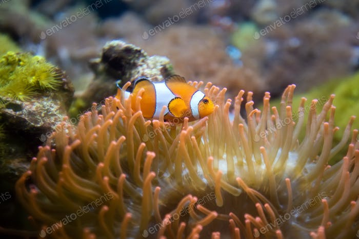 Clown Anemonefish, Amphiprion percula, swimming among the tentac