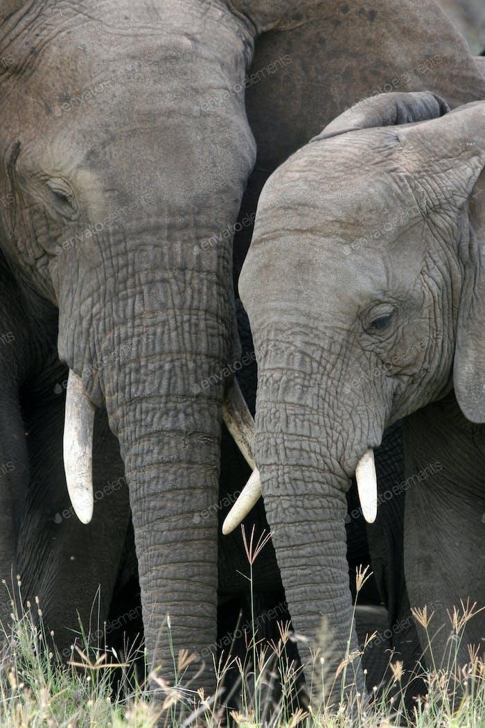 Африканский слон, Танзания, Африка