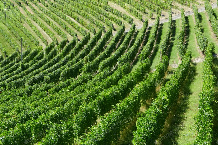 Green vineyards high angle view in a sunny day