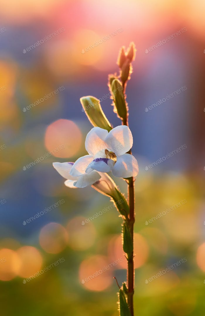 Little white flower in golden light of the evening