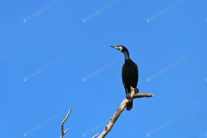 cormorant (phalacrocorax carbo )