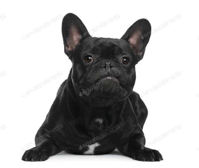 French Bulldog lying in front of white background