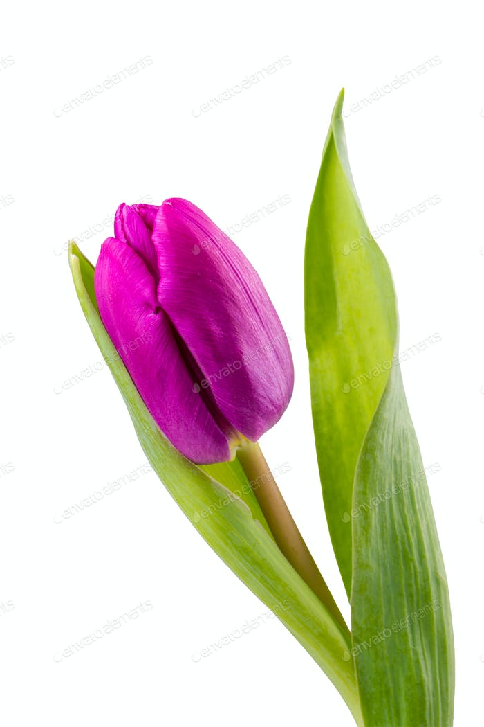 Violet tulip on a white background