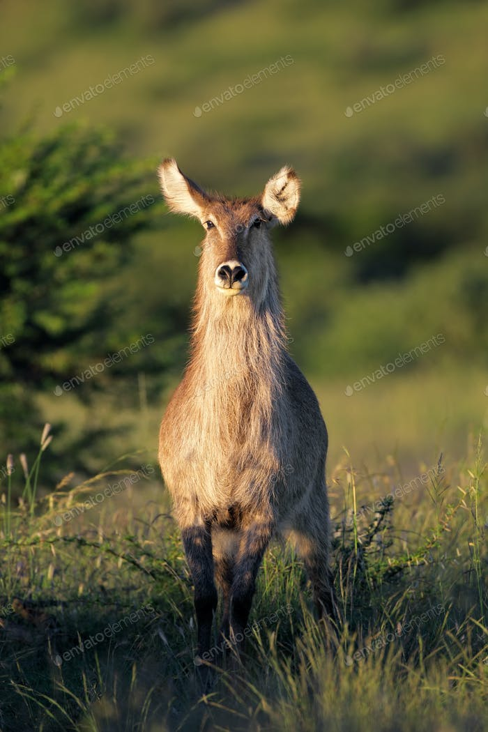 Waterbuck antelope in natural habitat