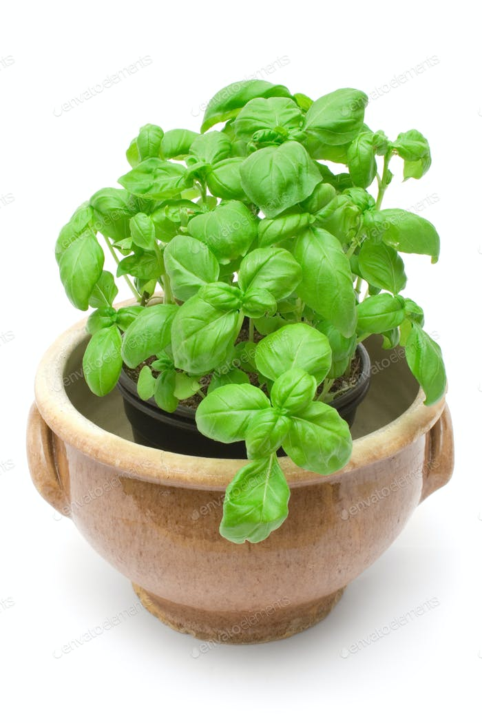 Basil Isolated on a White Background