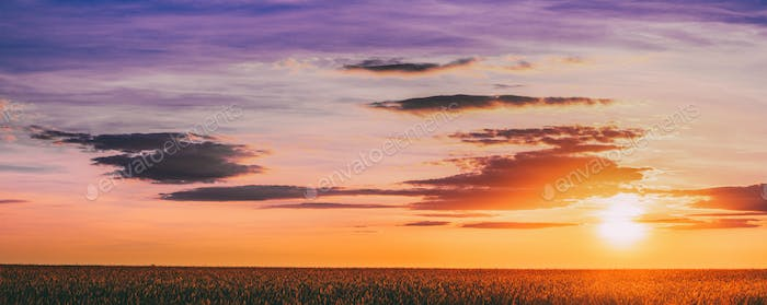 Panorama Of Eared Wheat Field,  Summer Cloudy Sky In Sunset Dawn