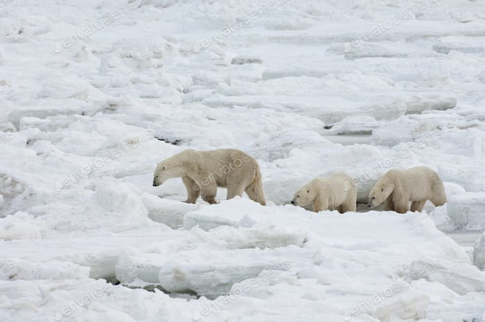A polar bear group in the wild, one adult and two cubs.