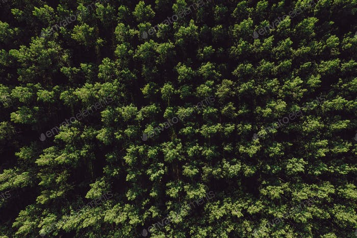 Aerial top view of cottonwood populus green forest in summer