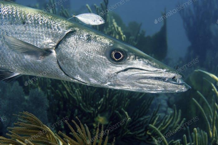 Close-up of a ferocious looking Great barracuda, Sphyraena barracuda, Key Largo