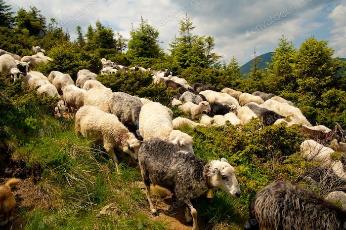 Flock of white sheep