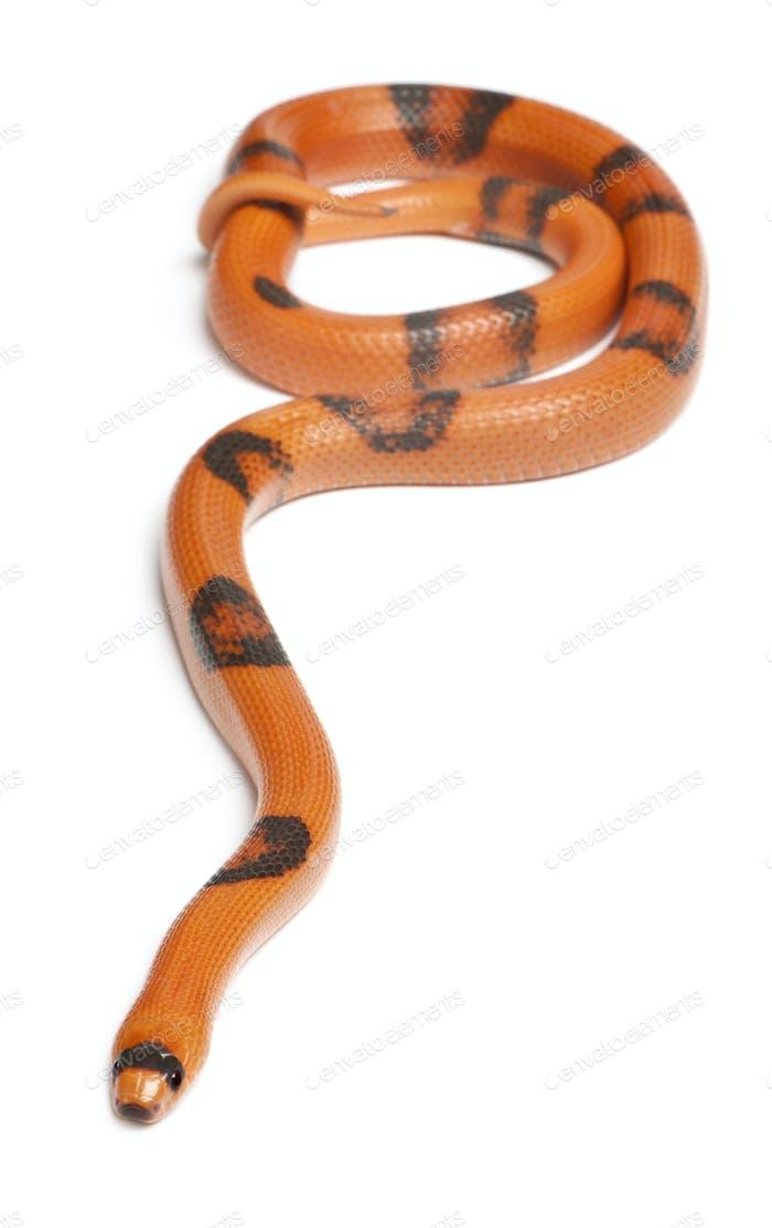 Reverse Hypomelanistic Honduran milk snake, Lampropeltis triangulum hondurensis