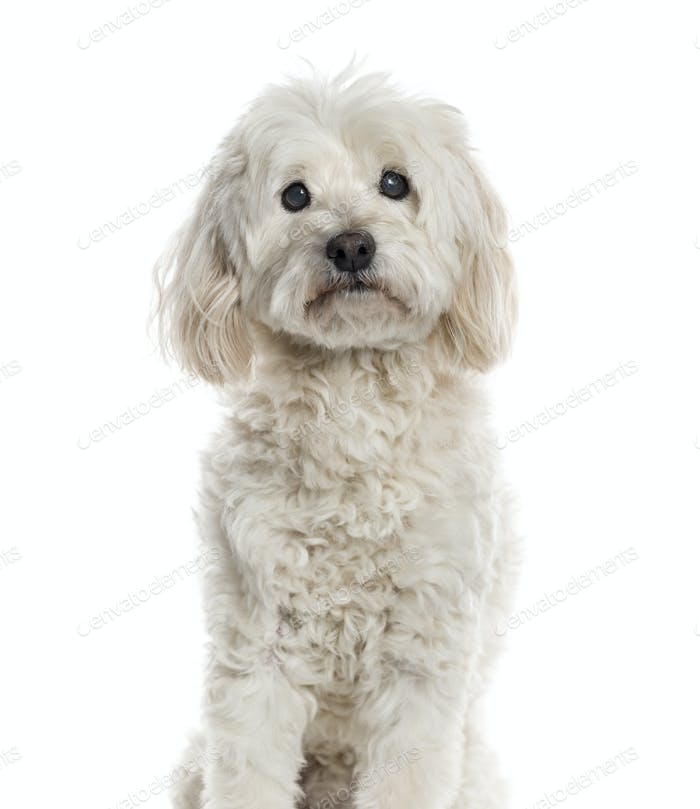 Bichon Frisé isolated on white