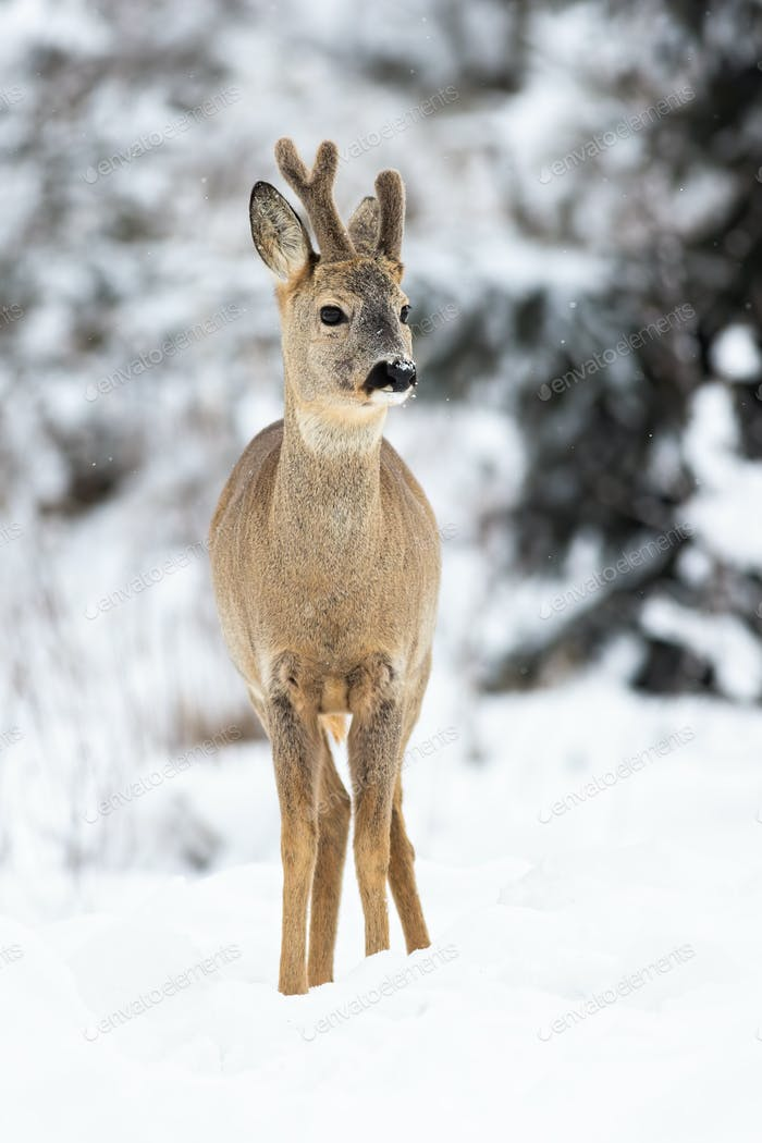 A winter portrait of roe deer with growing antlers covered in velvet in forest