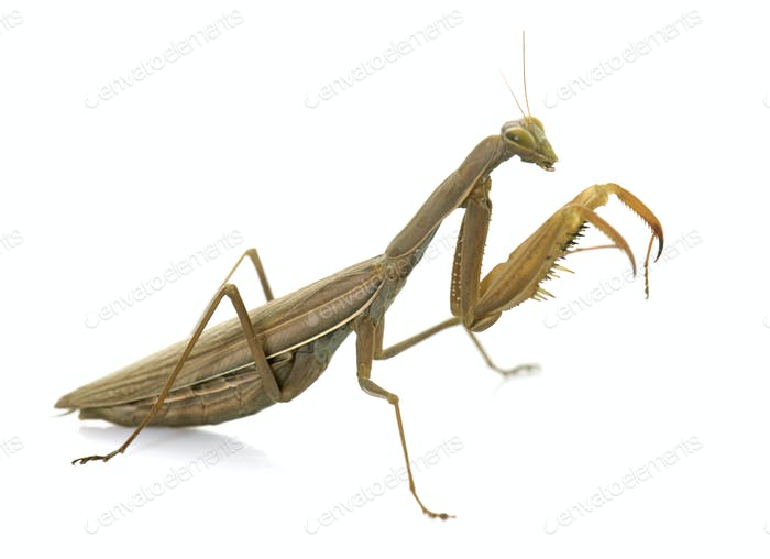 European mantis in studio